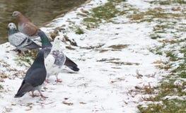 Pigeons en hiver Images libres de droits