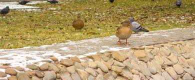 Pigeons en hiver Photos libres de droits