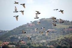 Pigeons en marche Images libres de droits