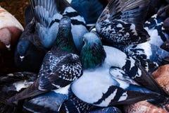 Pigeons en plan rapproché Photo libre de droits