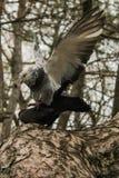 Pigeons en stationnement image libre de droits
