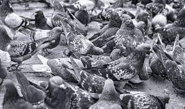 Pigeons en stationnement Photographie stock libre de droits