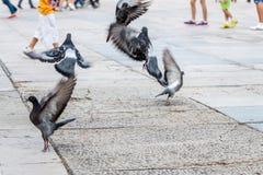 Pigeons en vol Photos libres de droits