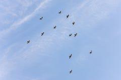 Pigeons en vol Images stock