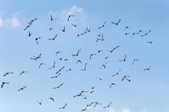Pigeons en vol Images libres de droits
