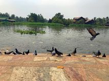 Pigeons enjoy food feed by visitor Royalty Free Stock Photo