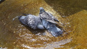 Pigeons Enjoying The Water Royalty Free Stock Images