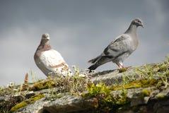 Pigeons ensoleillés se reposant sur le mur Photo libre de droits