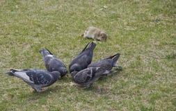 Pigeons et Gopher photos libres de droits