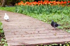Pigeons et tulipes Images stock