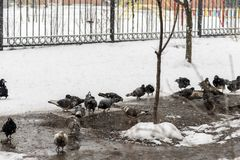 Pigeons feed in the winter. Birds feed in winter. Birds in the snow. Pigeons feed in the winter. A lot of pigeons. A flock of pigeons. Birds feed in winter Stock Photo