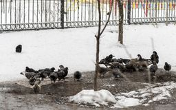 Pigeons feed in the winter. Birds feed in winter. Birds in the snow. Pigeons feed in the winter. A lot of pigeons. A flock of pigeons. Birds feed in winter Royalty Free Stock Images