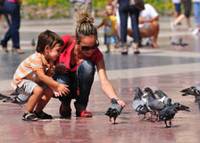 Pigeons feeding. Stock Photo
