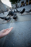 Pigeons feeding Royalty Free Stock Photo