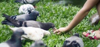 Pigeons Feeding Stock Image