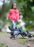 Pigeons feeding Royalty Free Stock Image