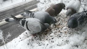 Pigeons feeding frenzy. Several hungry pigeons feeding frenzy , eating sun seeds and wheat grain on a window still covered with snow in winter time stock footage