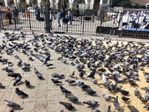 Pigeons feeding stock images
