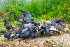 Pigeons feeding in the grass. Royalty Free Stock Images
