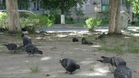 Pigeons feeding from ground. Chasing, and defecating. Urban scene. Summertime. Building, street, car and a trash can at background stock footage