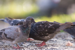 Pigeons feeding outdoor. Royalty Free Stock Photography