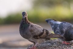 Pigeons feeding outdoor. Stock Images