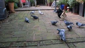Pigeons feeding stock footage