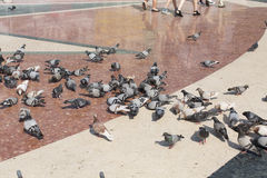 Pigeons feeding on stray bread thrown by visitors in Placa de Catalunya in Barcelona, Spain Royalty Free Stock Photo
