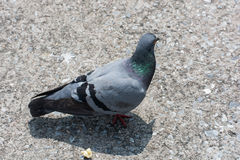 Pigeons feeding on street pavement Royalty Free Stock Photography