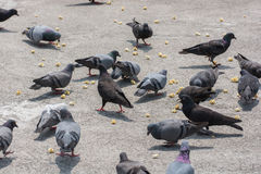 Pigeons feeding on street pavement Royalty Free Stock Photo