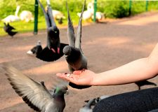 Pigeons on a female hand. Pecking seeds Royalty Free Stock Photography