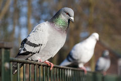 Pigeons on fence royalty free stock image