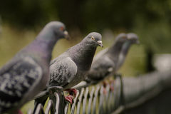 Pigeons on a Fence Royalty Free Stock Images