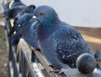 Pigeons on the fence close up. Stock Images