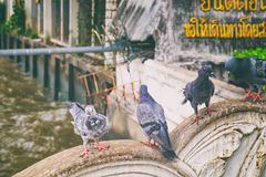 Pigeons on the fence Stock Photos