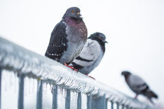 Pigeons on a fence full of icicles Royalty Free Stock Photo