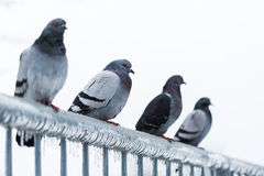Pigeons on a fence full of sleet Stock Photo