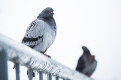 Pigeons on a fence full of sleet Royalty Free Stock Images