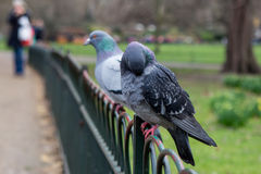 Pigeons on a fence Royalty Free Stock Photography