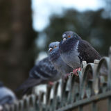 Pigeons on a fence Royalty Free Stock Image