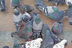 Pigeons fight over for food. Many pigeons fight over for food stock image