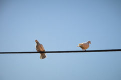 Pigeons in fight Stock Image