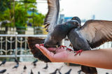 Pigeons Fighting for food on the hand Stock Photo