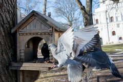 Pigeons fighting for food in house for birds Royalty Free Stock Photo