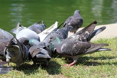 Pigeons fighting for food Stock Photography