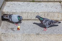 Pigeons Fighting over Apple. Two Grey Pigeons Figting for a Half-Eaten Apple on Grey Stairs Stock Image
