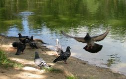 Pigeons. Flap their wings near the river Stock Images