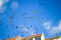 Pigeons in flight Stock Images