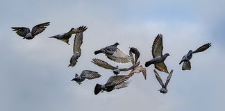 Pigeons in Flight Stock Photography