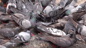 Pigeons. A flock of pigeons eating grains and pulses at a feeding square in Delhi, India stock video footage